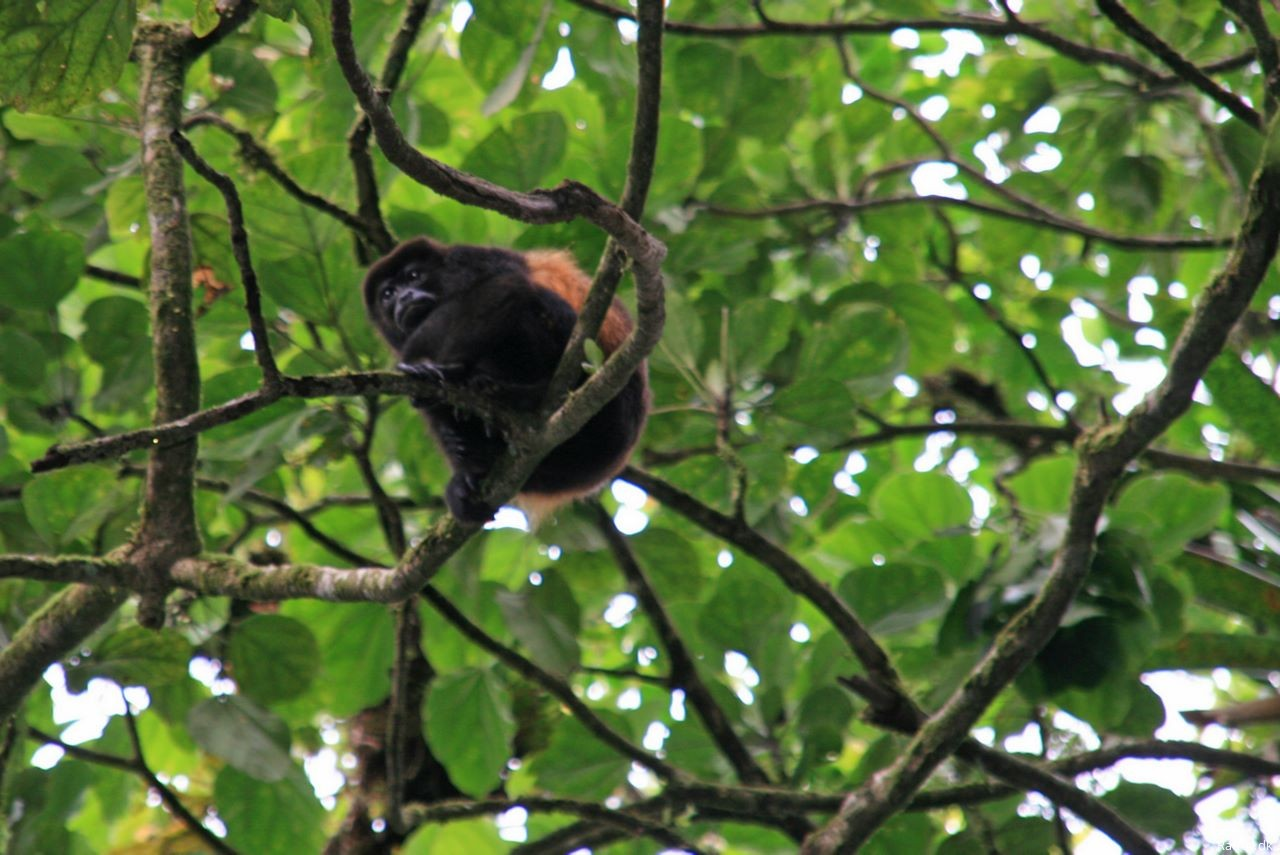 A howler monkey - fairly common in Costa Rica