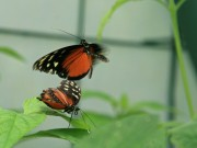 Two butterflies battling - or something